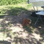 gaia, spitz en pension canine à l'école des chiens